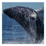 Jumping Humpback Whale  Poster