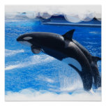 Jumping Orca Whale Poster