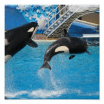 Orca Whales Print